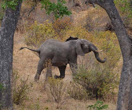 Running Elephant in Tarangire National Park, Tanzania Banco de Imagens