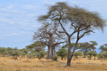 Lonely Impala in African Landscape with Baobab