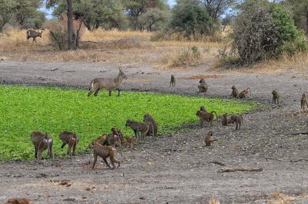 Group of baboons with antelopes in Tarangire National Park, Tanzania Banco de Imagens