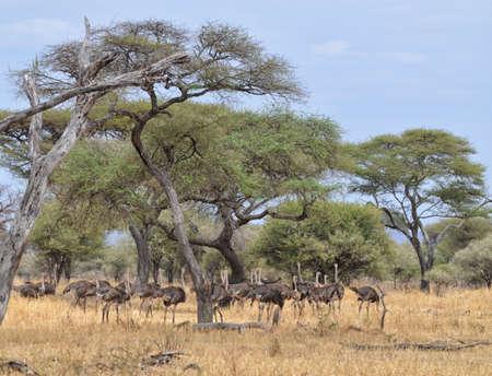 Herd of Ostriches in Tarangire National Park, Tanzania Banco de Imagens
