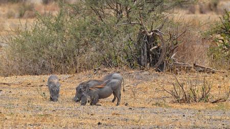 Eating Warthogs in Tarangire National Park, Tanzania Banco de Imagens