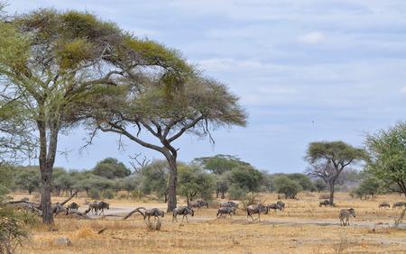 Herd of Gnu and Lonely Zebra in the Tarangire National Park, Tanzania Banco de Imagens