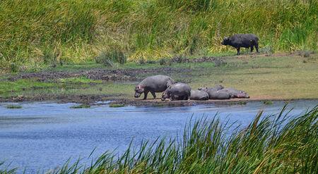Hippo family with buffalo in the Ngorongoro National Park, Tanzania