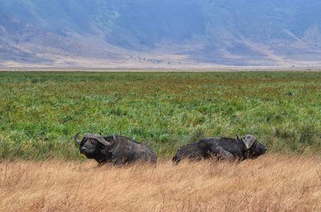 Two Buffaloes in relax, Ngorongoro National Park, Tanzania Banco de Imagens