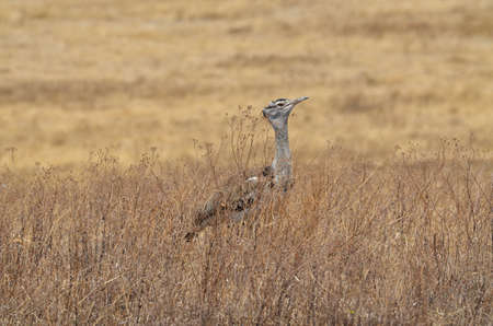 Lonely Kori Bustard in Serengeti National Park