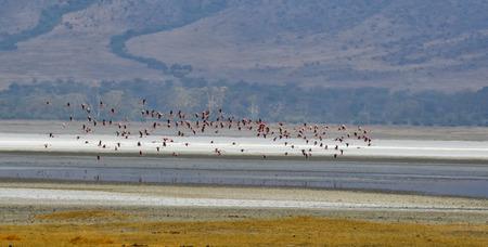 Flying Pink Flamingos in Serengeti National Park, Tanzania Banco de Imagens
