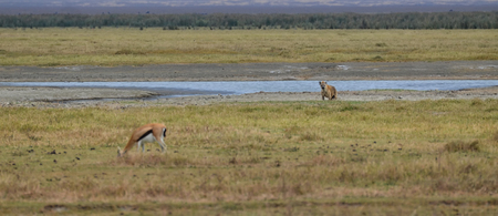 tanzania antelope: Hyena and Antelope in Serengeti National Park, Tanzania
