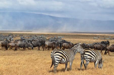 Herd of Zebras and Gnus in Serengeti National Park, Tanzania