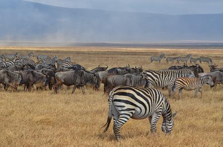 Herd of Zebras and Gnus in the Serengeti National Park, Tanzania Banco de Imagens