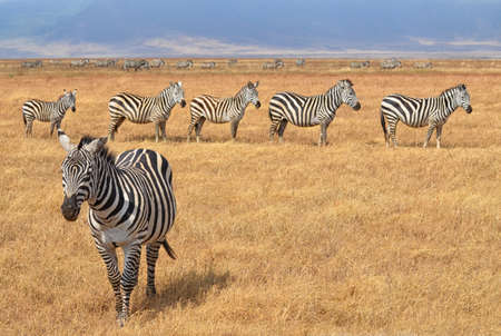 Herd of Zebras in Serengeti National Park, Tanzania Banco de Imagens
