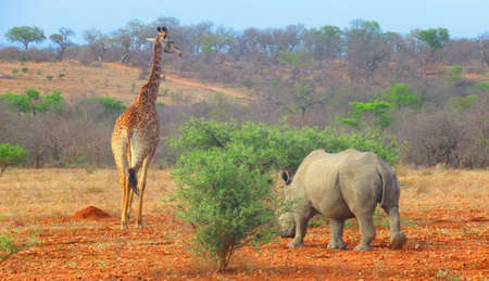 In the African Savanna two iconic African Mammals seen in close proximity to one another. Both are Vegetarian and are Icons of the African Wildlife. The Giraffe and the Wide mouth Rhinoceros.