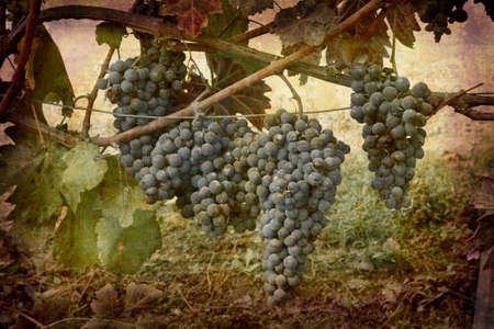 Artistic work of my own in retro style - Postcard from Italy. - Ripe Nebbiolo grapes - Piedmont. Stock Photo - 2345650