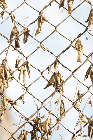 rusty fence: Rusty fence with dry leaves