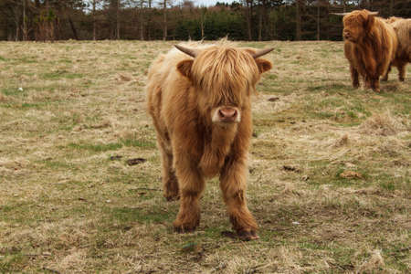breeds: Bull European breeds Stock Photo