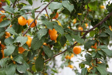 autumn garden: Yellow plums hang on the tree. Autumn Garden. Stock Photo
