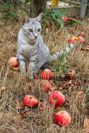 grey cat: Grey cat sitting in the grass among the apples