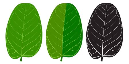 A vector green leaf of Indian Banyan tree( Ficus benghalensis). 3 shades. Banque d'images - 132097834