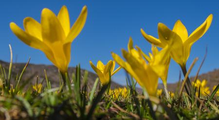 vangelo aperto: fiori gialli Crocus