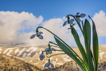 Features of snowdrop flowers on snow Stock Photo