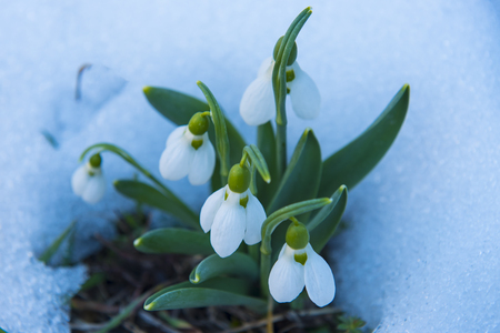 snowdrop flowers on the snow Stock Photo