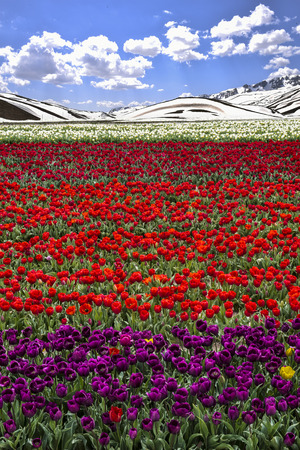 and magnificent: tulip fields and magnificent beauty