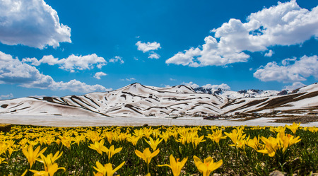 snowy mountains: spring, flowers and snowy mountains Stock Photo