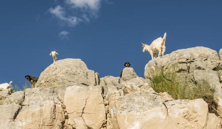 ruminants: small ruminants in the mountainous area Stock Photo