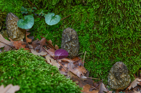 Valuable and rare edible fungi Stock Photo