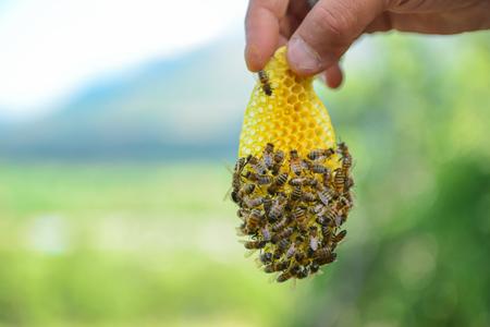 ハニカムに自然のミツバチ