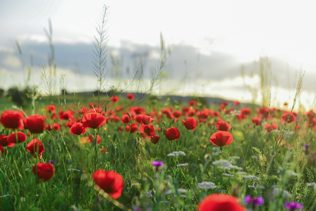 environmentalism: poppy flowers and peaceful nature