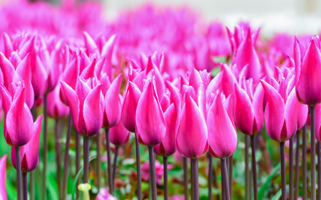 abundant purple Tulip flowers Banco de Imagens
