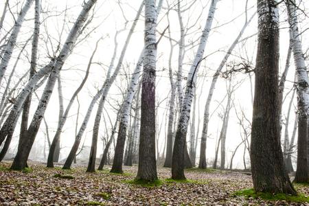 long poplar species