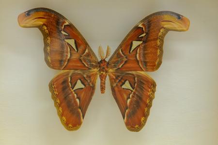 珍しい、大きな蝶