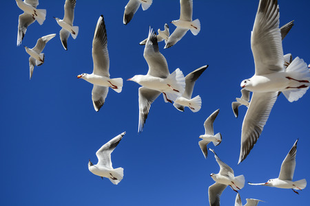 seagulls flying in search of food