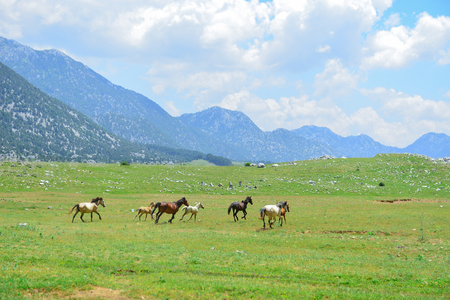galloping wild horses in nature and wildlife areas Stok Fotoğraf - 118955059