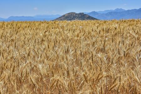 fertile and natural wheat fields 版權商用圖片