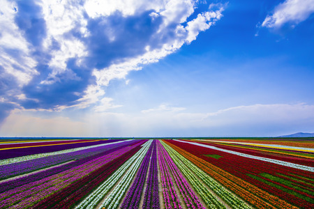 colorful tulip plantations, terrific colors and tulip cultivation
