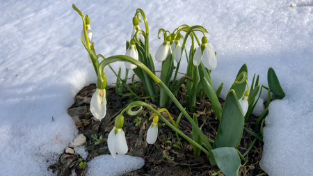 last snowfall in April and white snowdrops