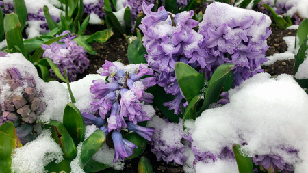 texture of hyacinths in last snowfall