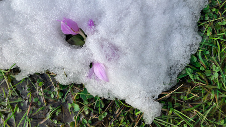 purple crocuses in the last snowfall