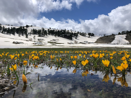yellow crocuses in the plateaus in spring season