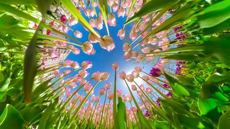 window opening into the sky through tulip flowers Stok Fotoğraf