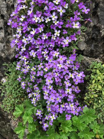 rock vine with gorgeous vivid purple colors