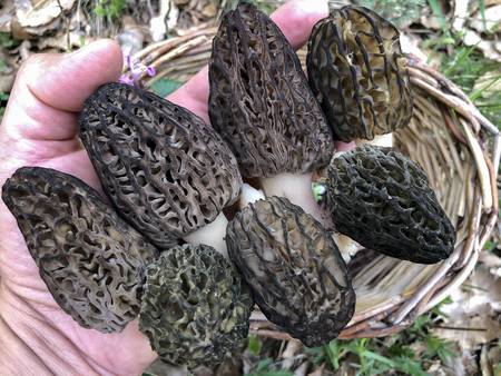 great morel mushroom finding and beauty of naturalism