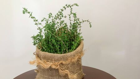 In foods, thyme is used as a flavoring agent. 版權商用圖片