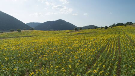 large sunflower fields, aquaculture and agricultural area 写真素材