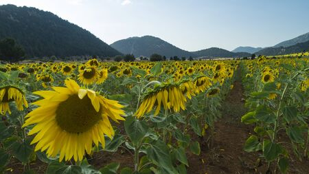 large sunflower fields, aquaculture and agricultural area