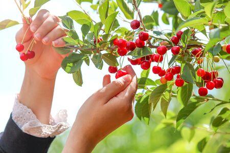 Fresh cherry fruit harvest from the branch