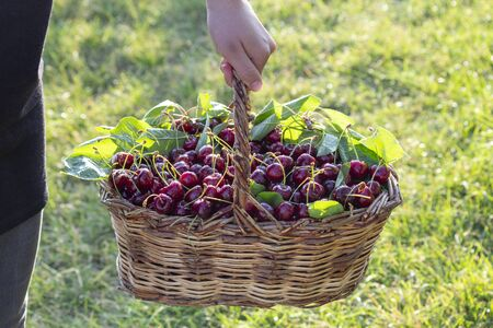 organic, drug-free and natural fresh cherry harvest from the manufacturer Фото со стока
