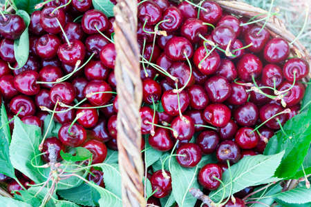 natural fruit harvest of cherry season Standard-Bild